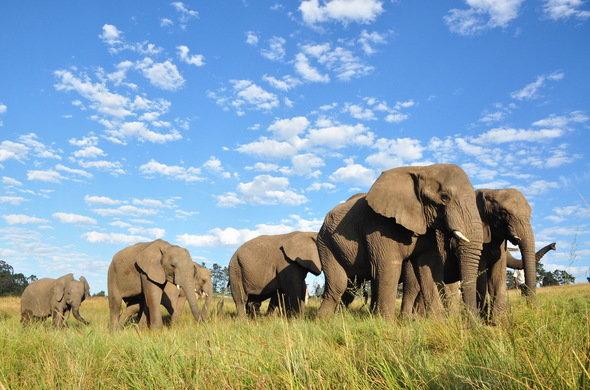 knsyna-elephant-park-elephant-herd-590x390.jpg
